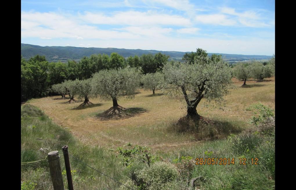 pepiniere-oliviers-gros-02
