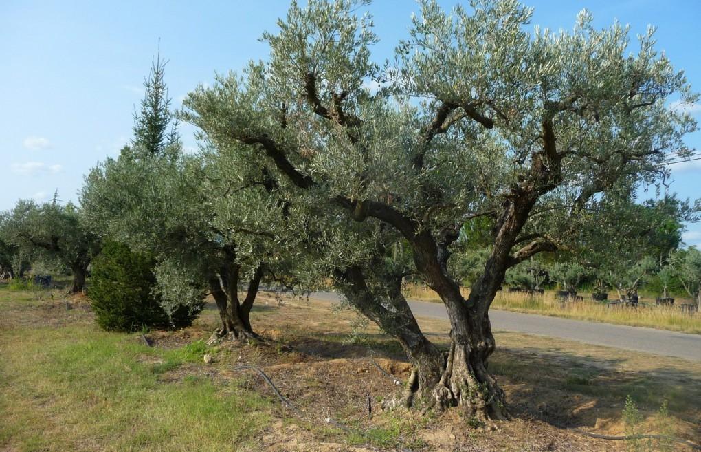 pepiniere-oliviers-gros-03