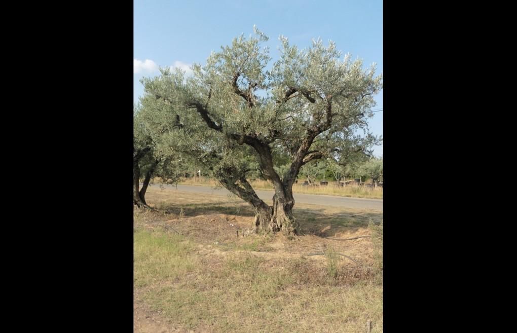 pepinieres-oliviers-gros-04
