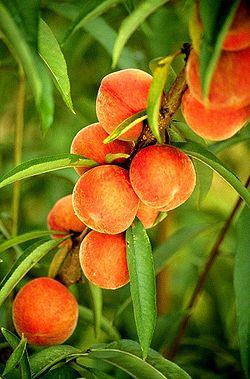 © Variété :abricot Stark Early Orange