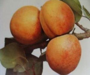 Variété : abricot Muscat pêche de Nancy