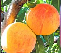 Variété : Pêche-abricot Guadalupe