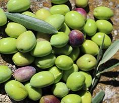 Variété : olivier Aglandau