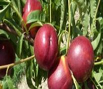 Variété : Nectarine cerise