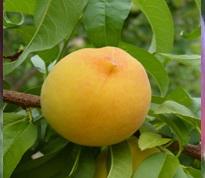 Variété : Peche-abricot Vesuve