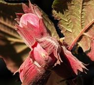 Variété : Noisetier Maxima purpurea