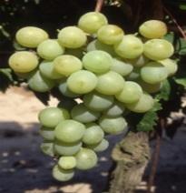 Variété : vigne Muscat d'Alexandrie