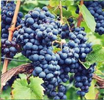 Variété : vigne Isabelle noire