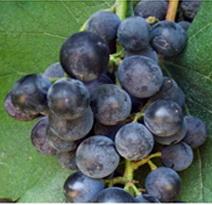 Variété : vigne Isabelle noire précoce