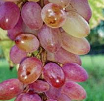 Variété : vigne Miss Rose