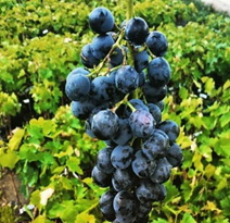 Variété : vigne Muscat Bleu (ou Garnier)