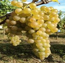 Variété : vigne Noah