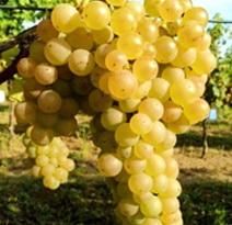Variété : vigne Topaze Fragolina