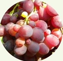 Variété : vigne Zemira