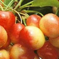 Variété : cerisier Bigarreau Rainier