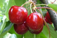 Variété : cerisier Bigarreau Stark giant