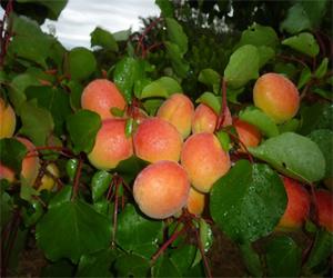 Variété : abricot Helena du Roussillon