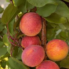 Variété : abricot tardif de Bordaniel