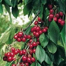 Variété : cerisier acide griotte du nord
