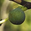 Variété : figue blanche ou marseillaise