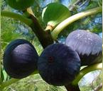 Variété : figue violette de Sollies