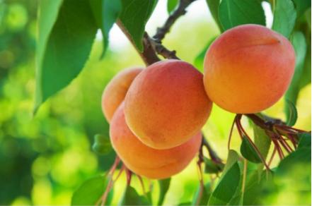 Variété :abricot Royal Muscat