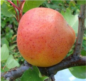 Variété :abricot Paviot